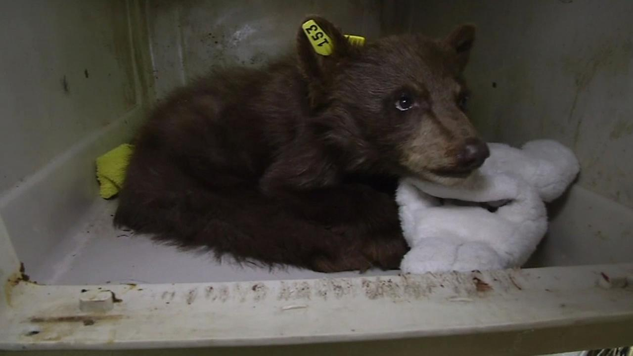 Orphaned bear cub at the Lake Tahoe Wildlife Care center.