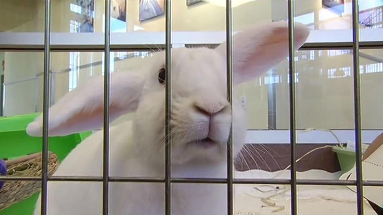The Peninsula Humane Society has a surge of rabbits like this one and they are waiving adoption fees.