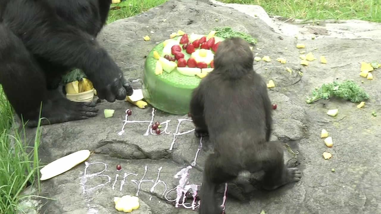 San Francisco Zoos gorilla gets special birthday party.
