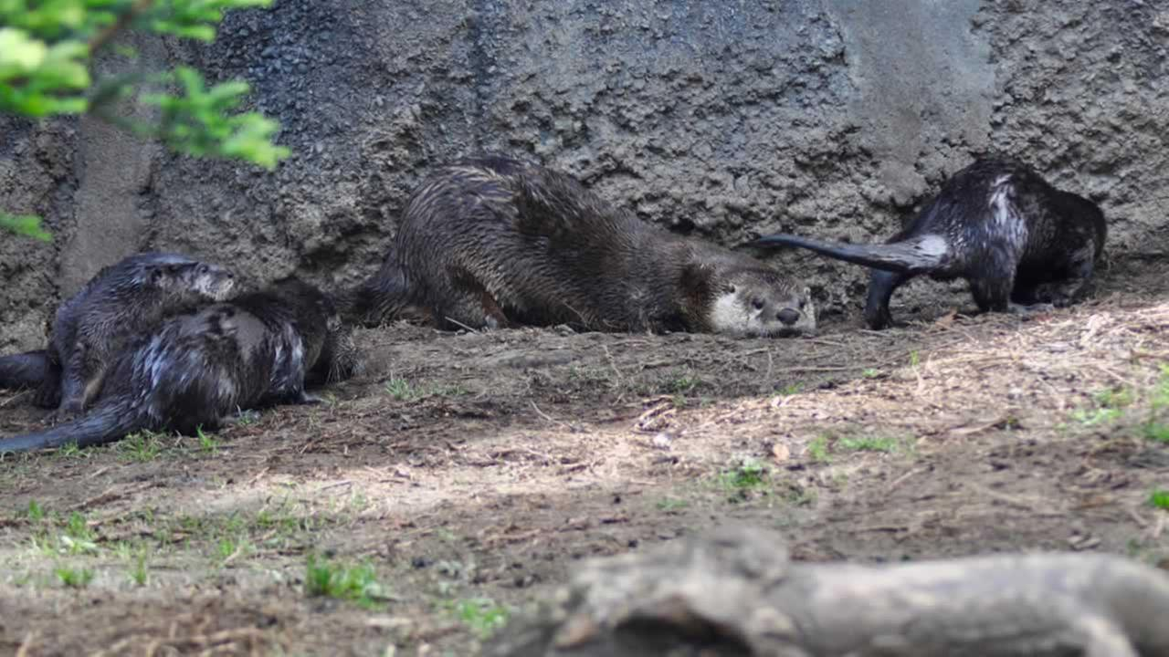 Three new river otters are seen in their exhibit at the Oakland Zoo in this photo released on Tuesday, May 9, 2017.Photos by Oakland Zoo