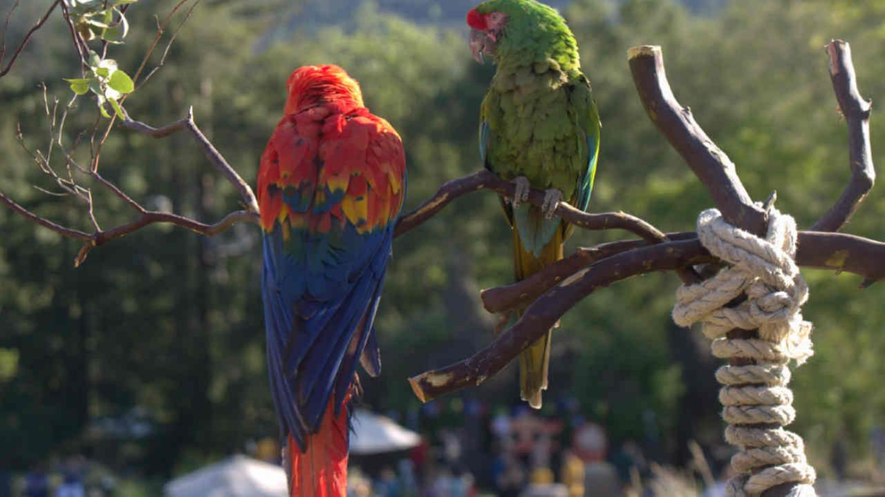 A pair of parrots are seen perched above a fundraiser in Portola Valley, Calif. on Saturday, May 13, 2017.