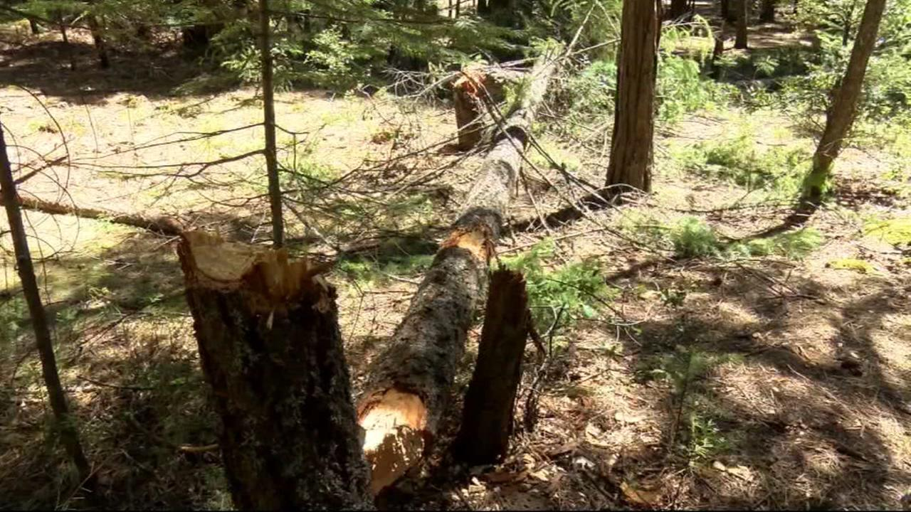 A Chico State fraternity is being charged with illegally cutting down dozens of trees in Lassen National Forest in Susanville, Calif.