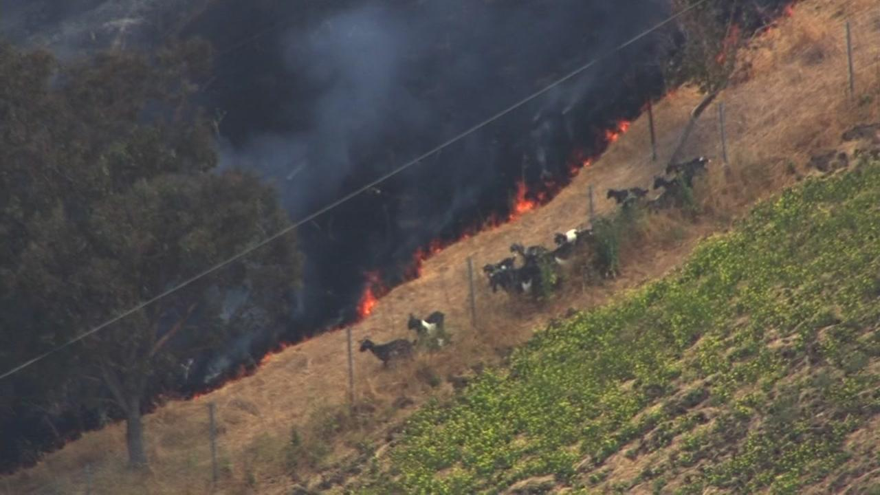 Goats fled a fast-moving brush fire in Milpitas, Calif. on Thursday, May 25, 2017.
