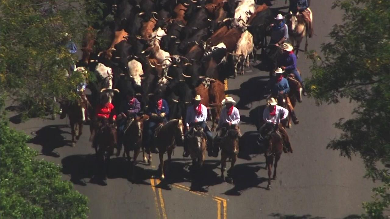 Cattle drive makes its way through Pleasanton, California. Friday, June 16, 2017.