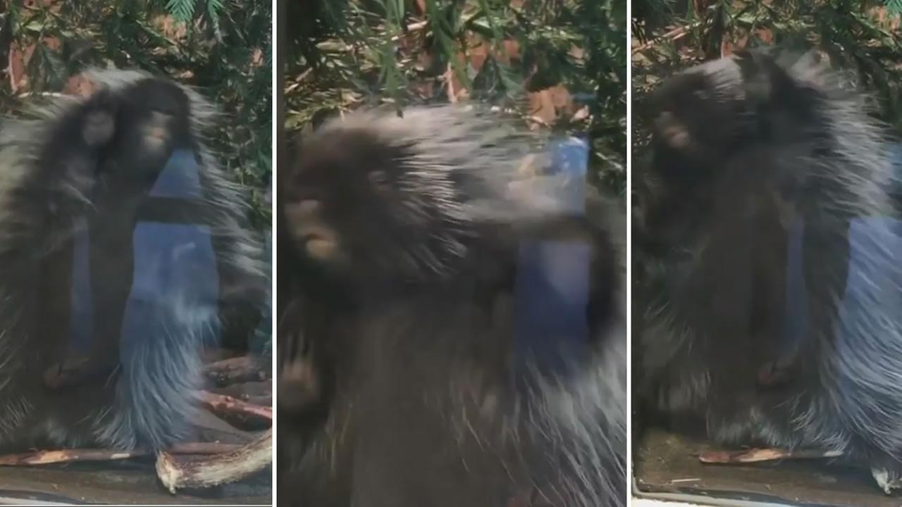 Penelope the Porcupine was caught dancing at Lindsay Wildlife Museum in Walnut Creek, Calif. on Wednesday, June 28, 2017.