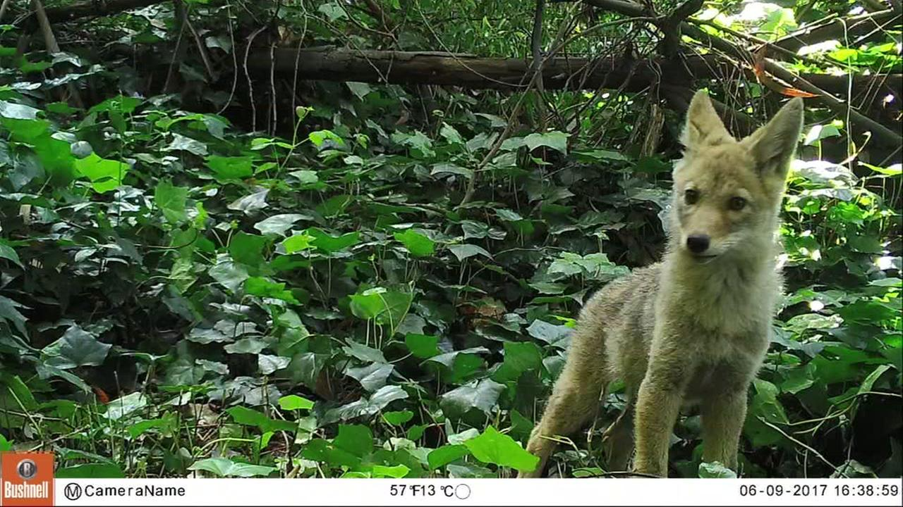 Never before seen footage of coyotes was captures on wildlife cameras in San Franciscos Presidio.