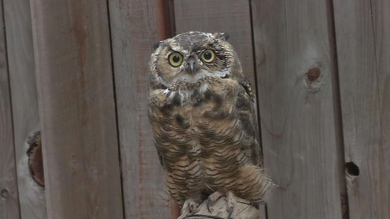 Owl at the Lake Tahoe Wildlife Care center