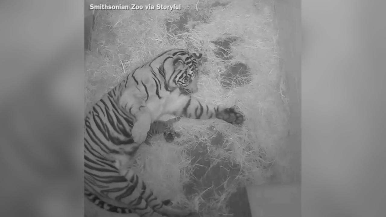 VIDEO: Endangered Sumatran tiger born