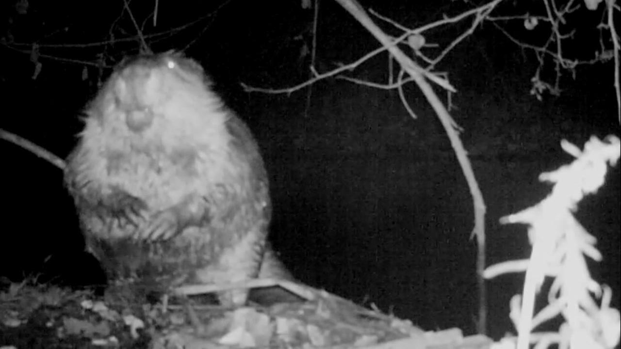 A beaver appears on surveillance video in Los Gatos, Calif.
