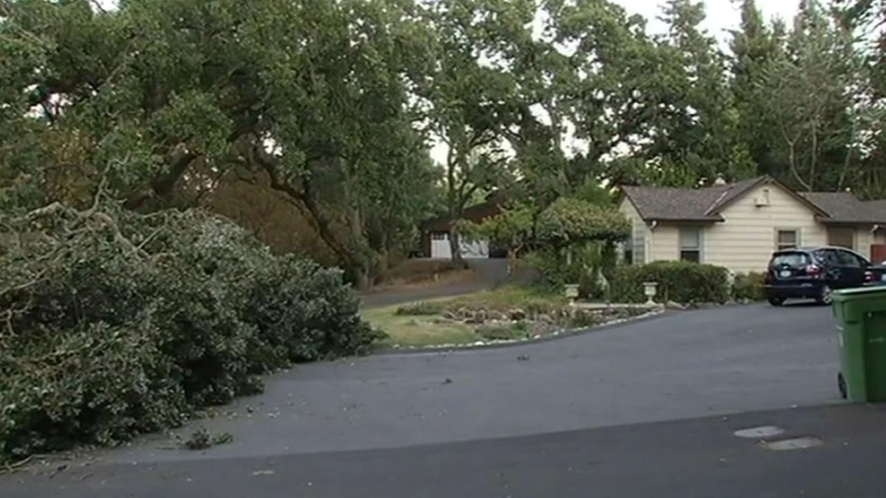 Oak tree falls in Walnut Creek neighborhood