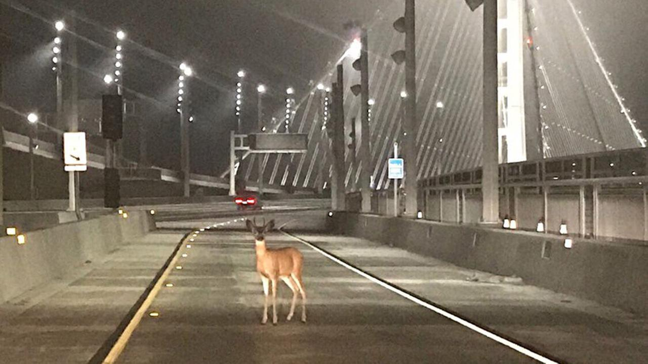 Deer spotted on Bay Bridge, Tuesday, August 29, 2017.