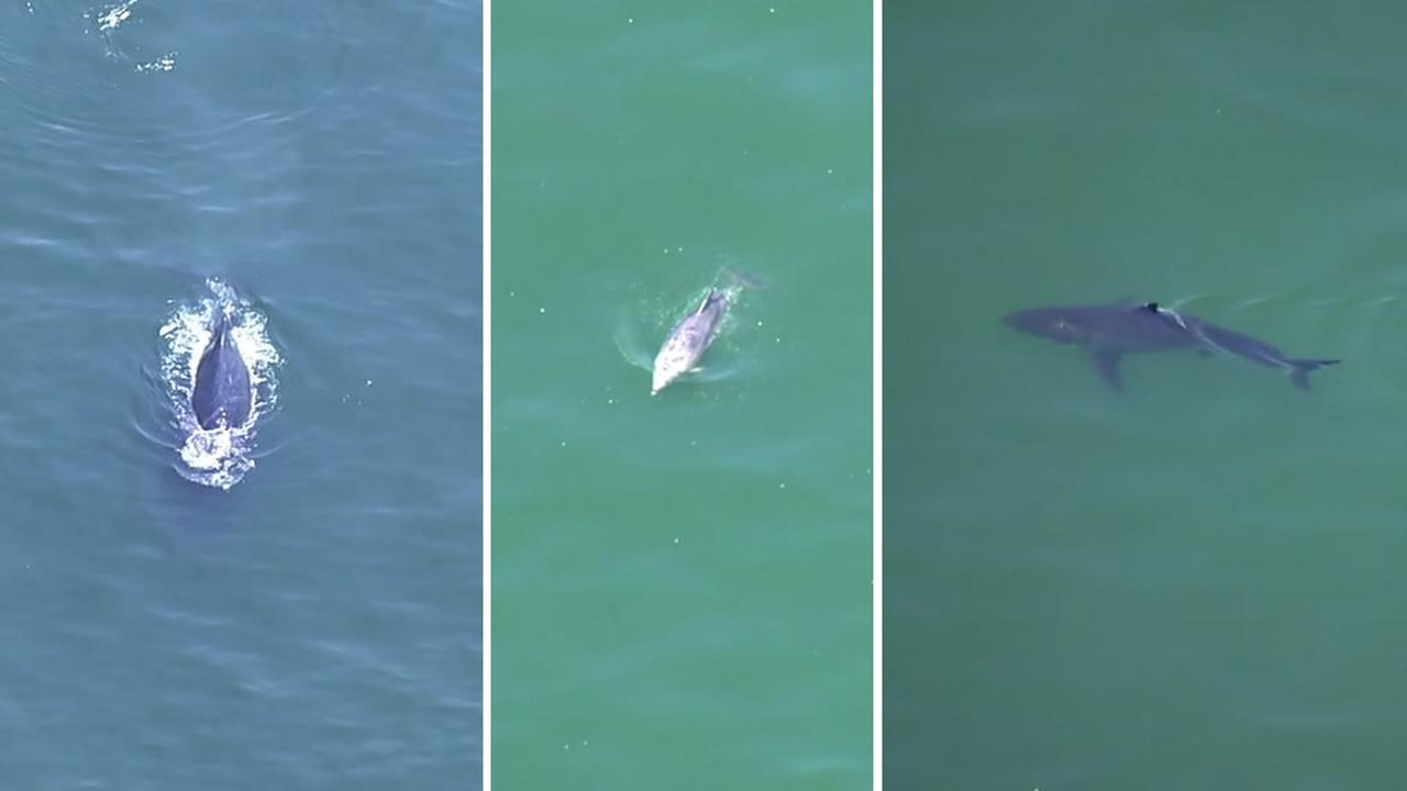 A whale, dolphin, and shark were spotted by Sky7 near Pacifica, Calif. on Friday, Sept. 1,2017.