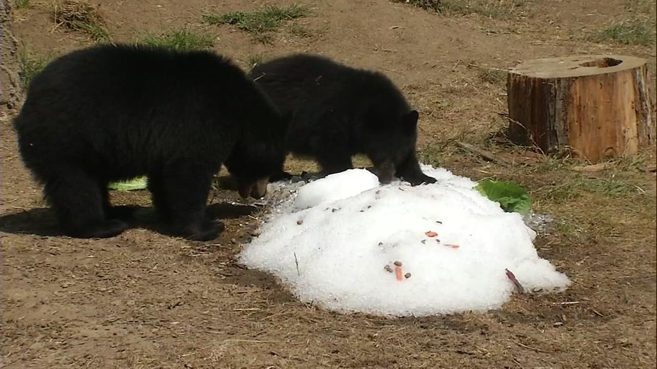 Two bears chill out in some snow at the San Francisco Zoo on Friday, Sept. 1, 2017.KGO-TV