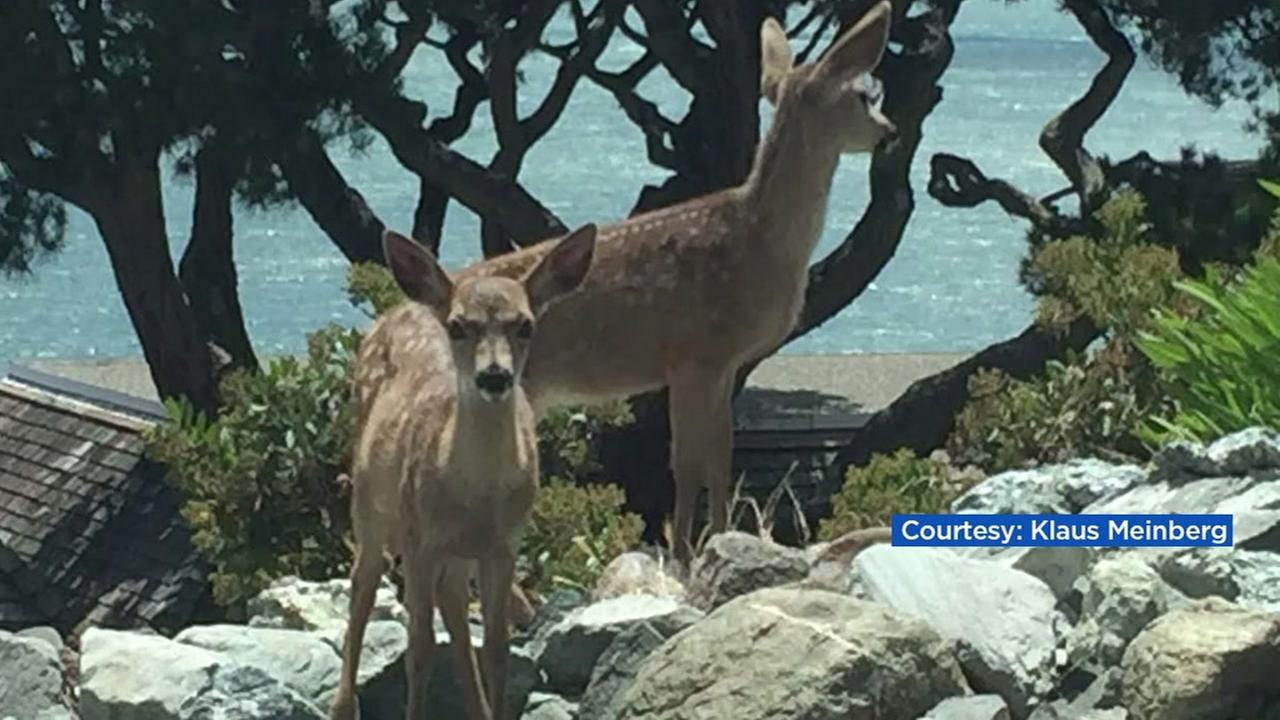 Tiburon man arrested for shooting fawn, doe in his yard