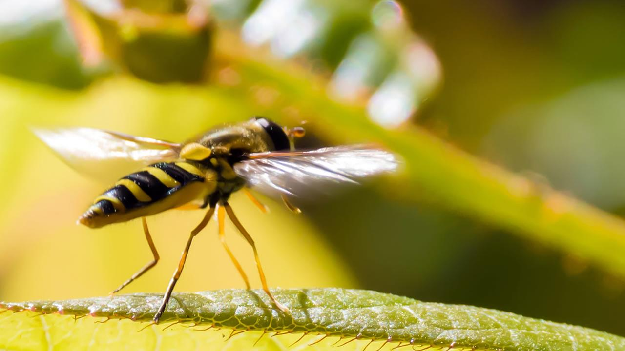 Contra Costa County sees increase in Yellow Jacket ground nests