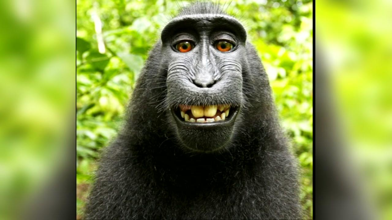 Naruto the macaque appears in this infamous selfie that sparked a lawsuit in San Francisco.