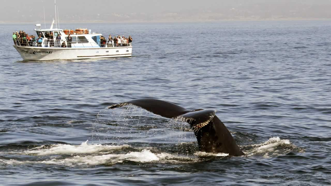 A Humpback whale dives near a whale watching boat in Monterey Bay Saturday, Oct. 5, 20013.