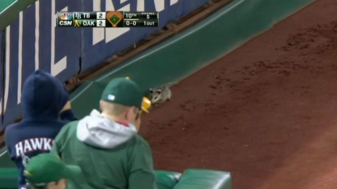 A possum ran on the field during an As game Monday night.