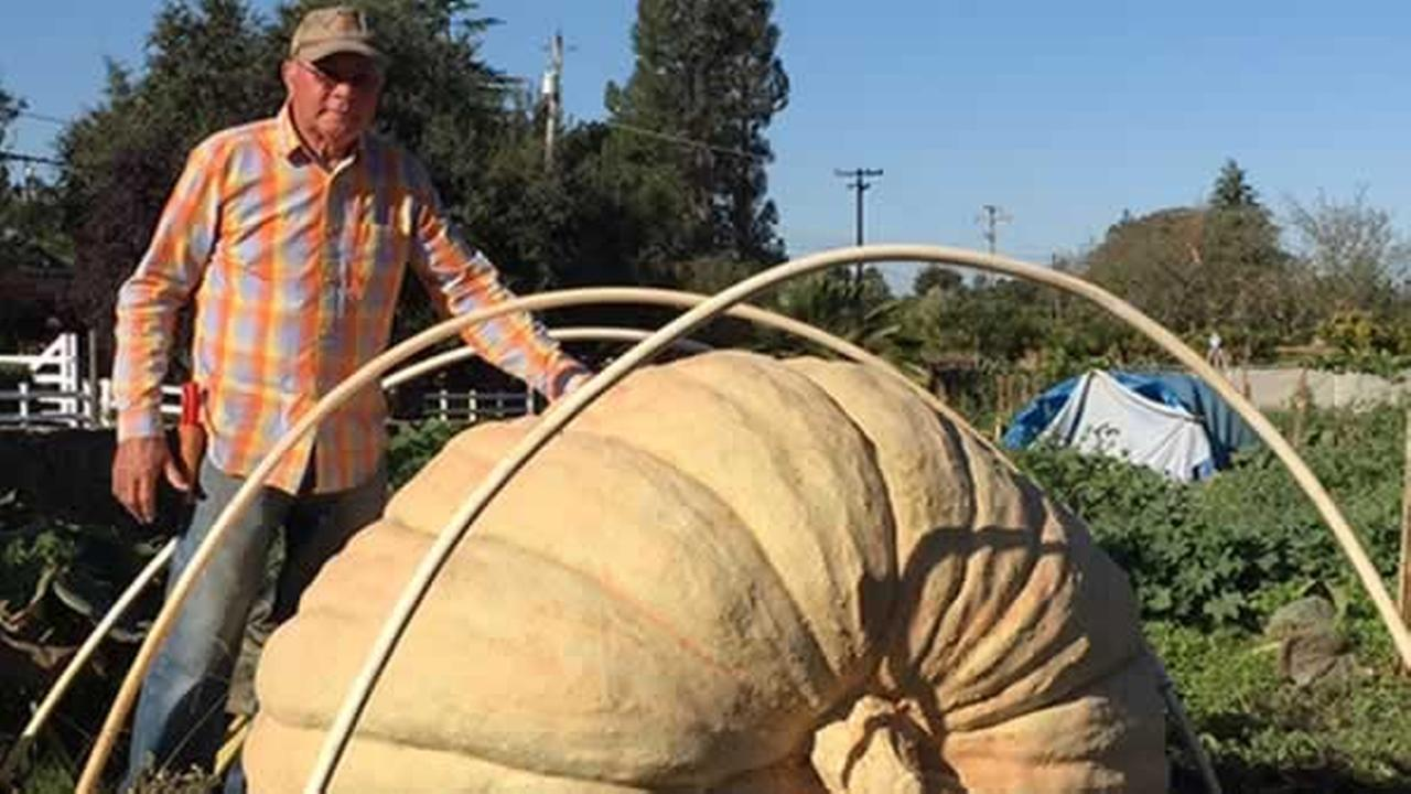 Grower Gary Miller stands next to one of his enormous pumpkins in Napa, Calif. on Tuesday, Oct. 3, 2017.