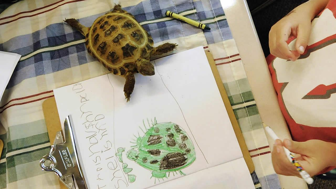 In this Sept. 11, 2012, photo, a tortoise walks onto the coloring project of a tortoise by Gavin Thoen in the first grade classroom of Dawn Slinger in Farmington, Minn. (AP Photo/Jim Mone)