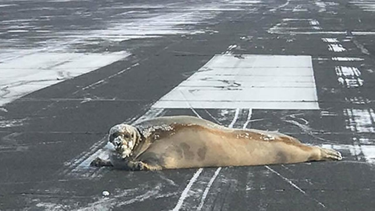 A seal lounges on an airport runway on Monday, Oct. 23, 2017 in Barrow, Alaska.