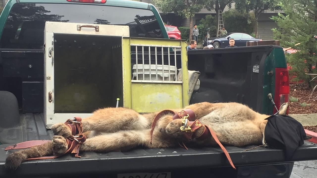 A mountain lion was tranquilized in San Franciscos Diamond Heights neighborhood on Friday, Nov. 10, 2017.