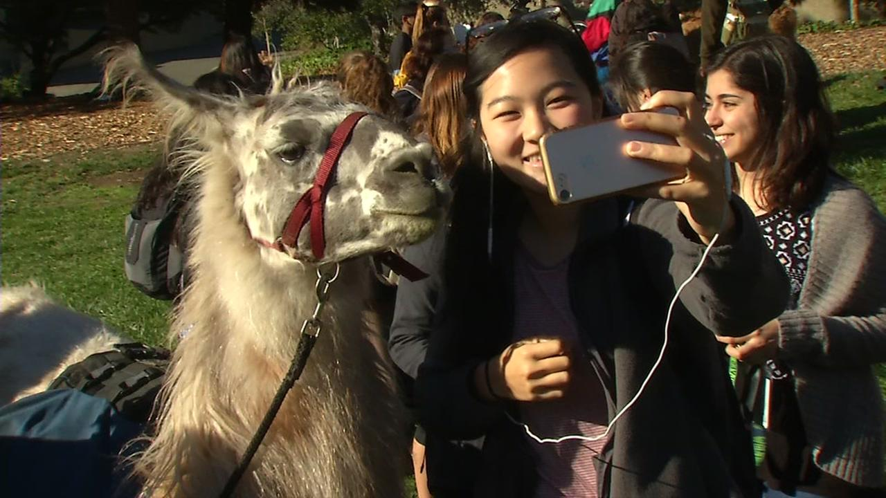 Cal officials brought llamas onto campus in Berkeley, Calif. on Monday, Dec. 4, 2017 to help students de-stress ahead of finals.
