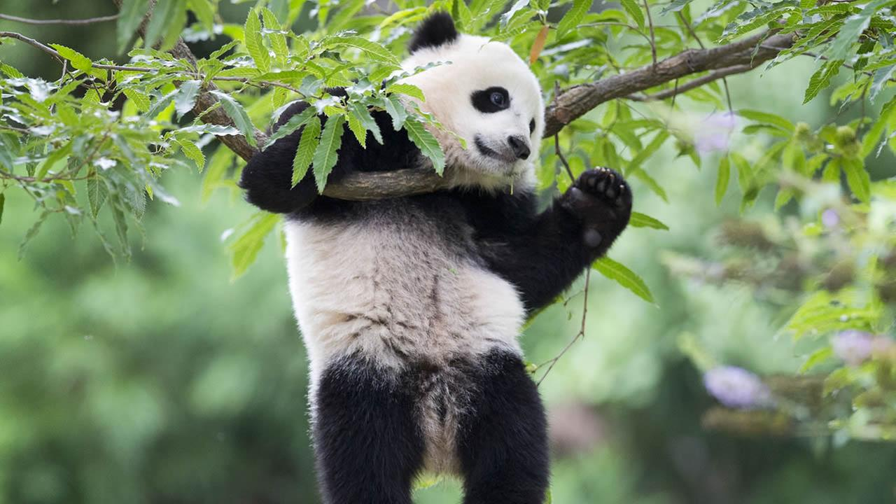Panda cub Bao Bao hangs from a tree in her habitat at the National Zoo in Washington on her first birthday, Saturday, Aug. 23, 2014. (AP Photo/Pablo Martinez Monsivais)