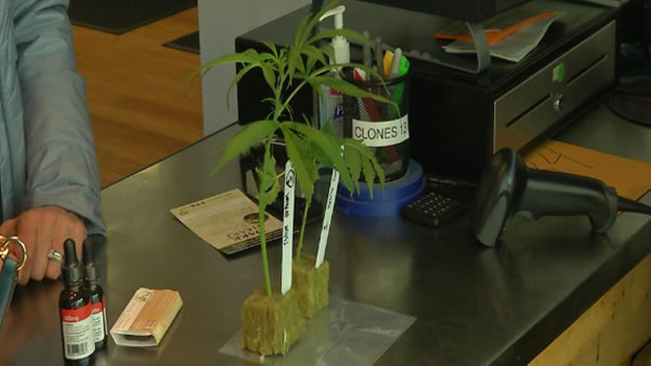 A marijuana plant sits at a dispensary in Oakland, Calif.