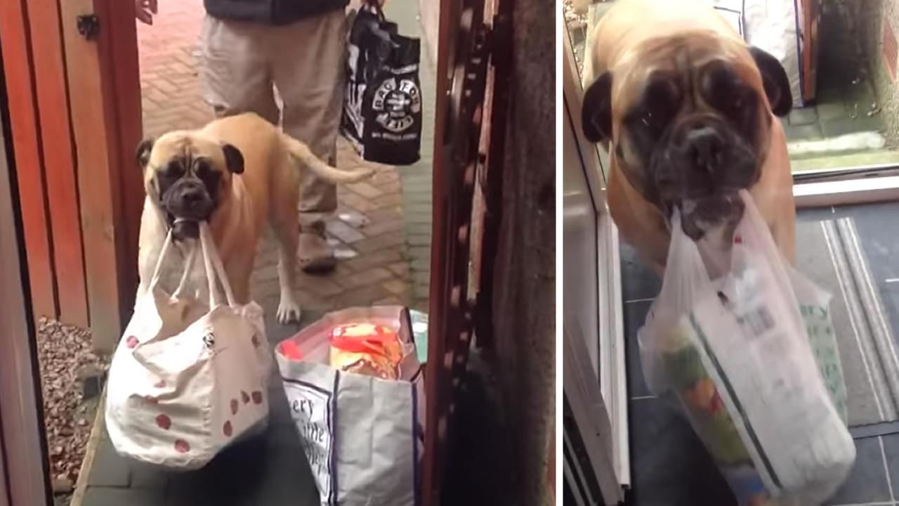 Millie the bullmastiff helps owner bring groceries into the house.
