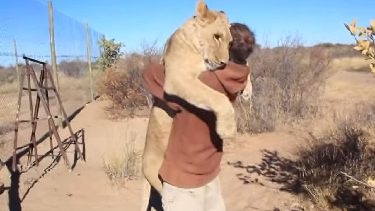 Amazing footage shows a lion, overjoyed to see its human friend, jump up right into his arms and give him a big hug.