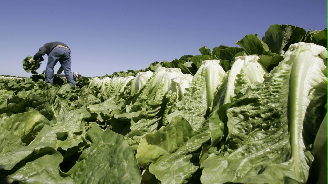 ** FILE ** In this file photo from Aug. 16, 2007, a worker harvests romaine lettuce in Salinas, Calif. (AP Photo/Paul Sakuma, file)