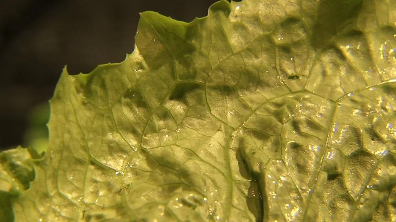 This is a close up image of lettuce.