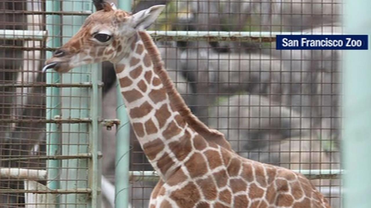 Twin giraffes born at San Francisco Zoo
