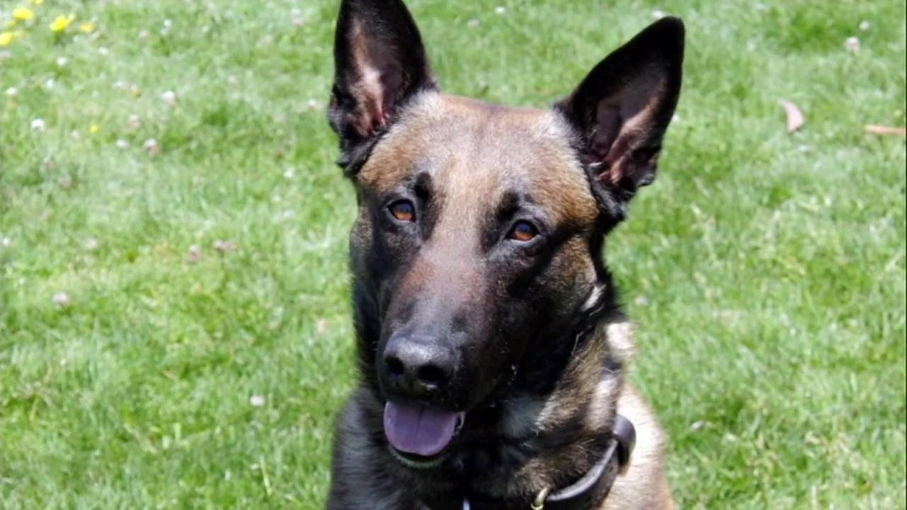 This is an undated image of Cavik, an SFPD K-9 officer who was put down on Tuesday, Jan, 9, 2017.