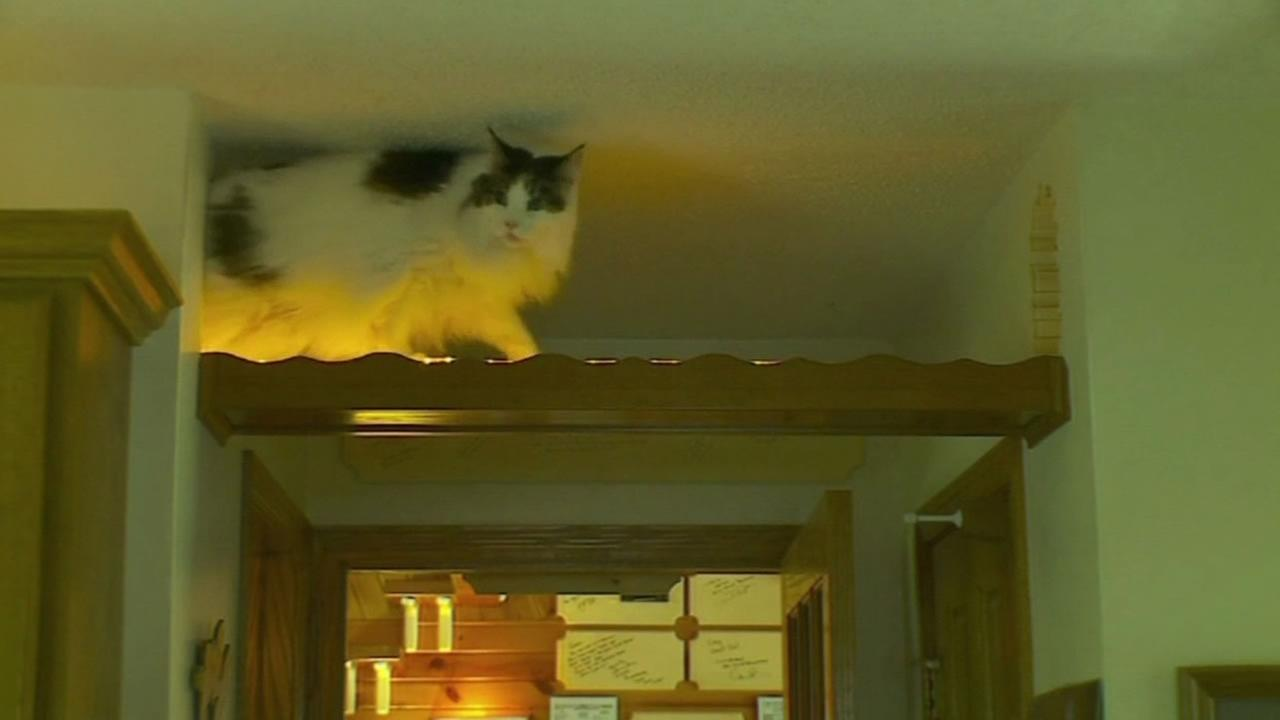 A cat enjoys the funhouse created by its owner.