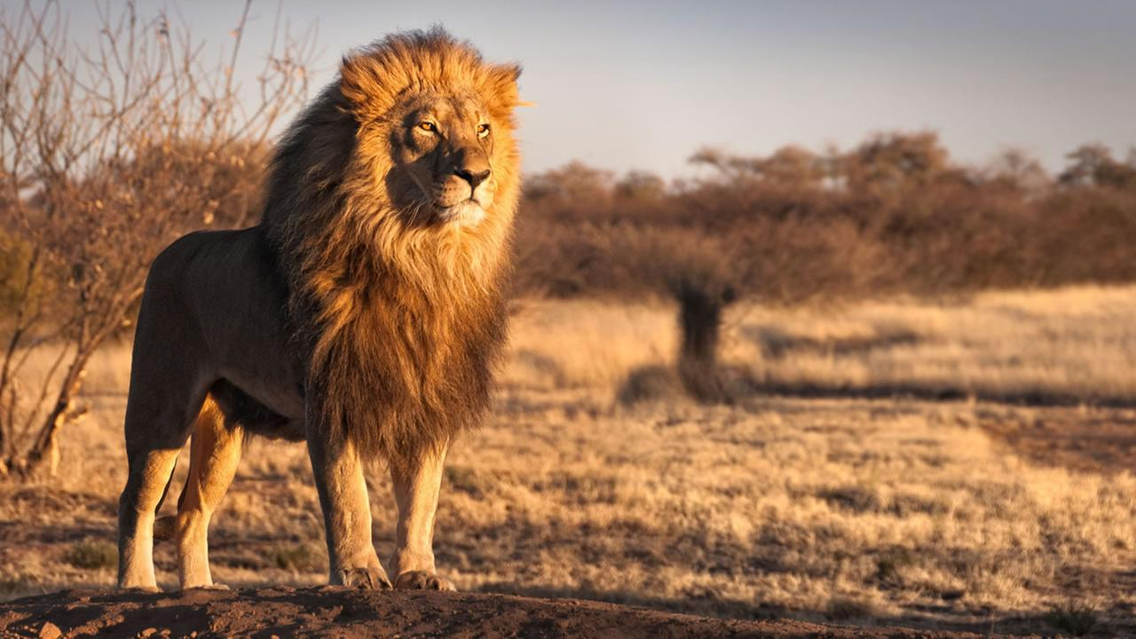 Poaching suspect reportedly mauled by lions in South Africa