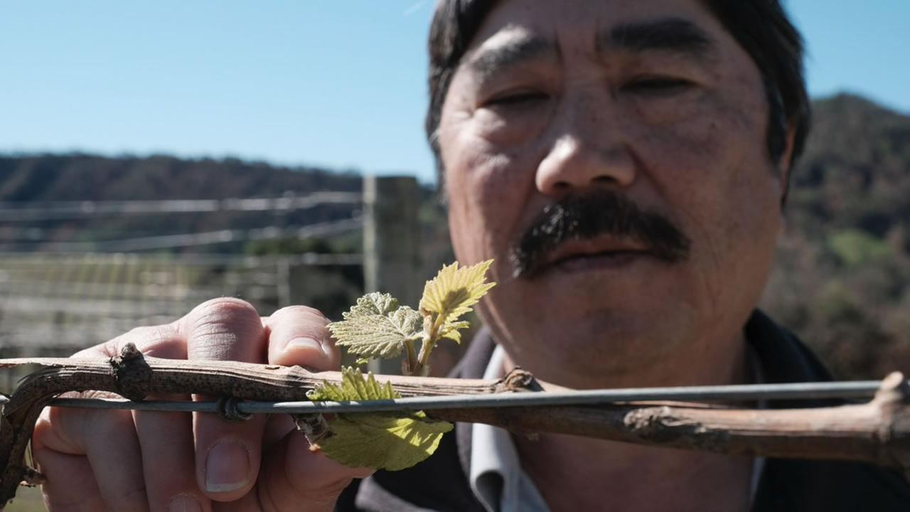 Martin Mochizuki with V.Sattui winery in St. Helena, Calif. examines bud breaks on Thursday, Feb. 15, 2018.