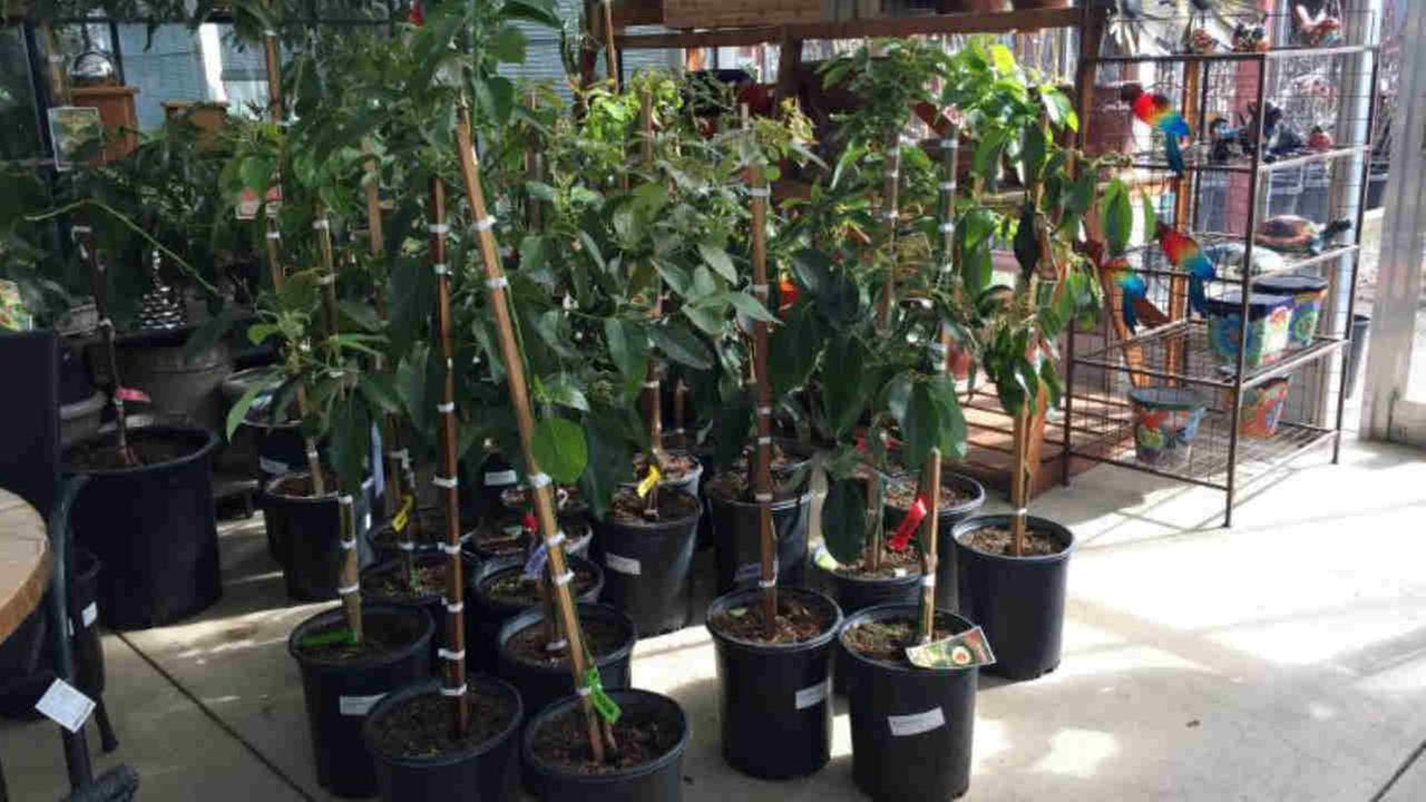 Avocado trees are seen after being moved inside a Napa, Calif. nursery in preparation for cold weather on Sunday, Feb. 18, 2018.