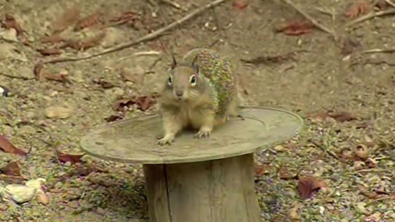Danville ground squirrel