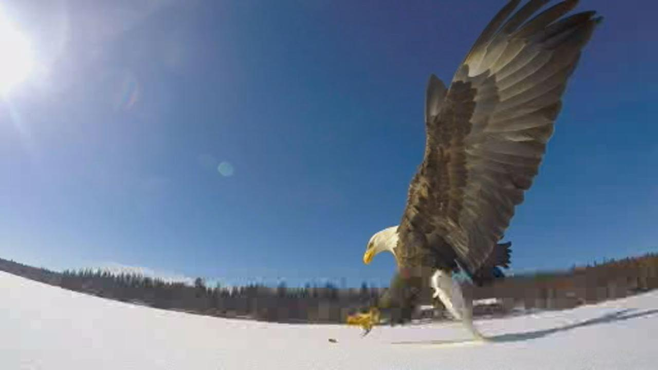 This image shows an eagle grabbing a fish in Montana.