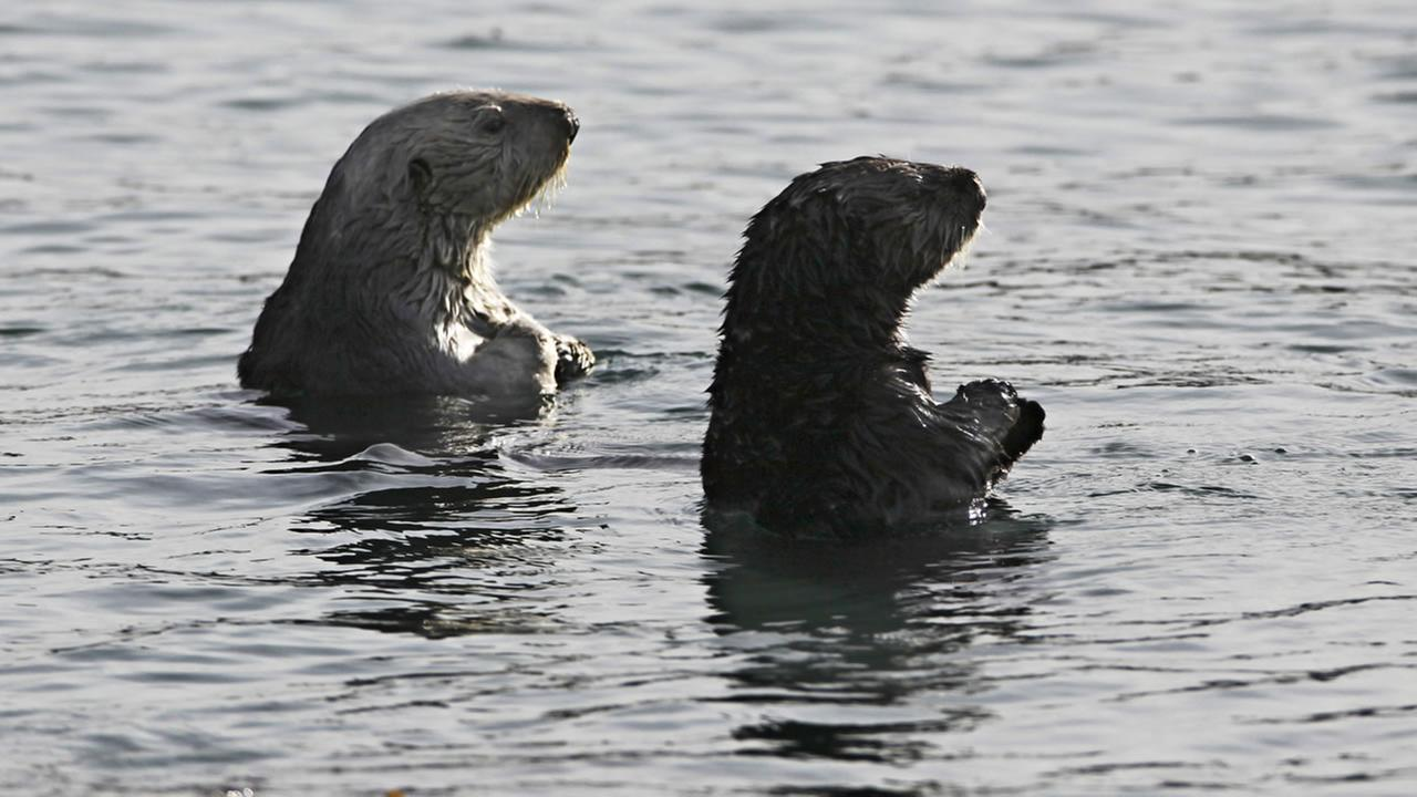 Sea otters are seen in Morro Bay.