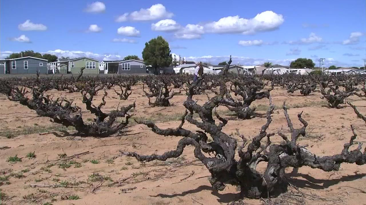 One-hundred-and-twenty-year-old grapevines may be ripped up in Oakley to make way for more housing and commercial development.