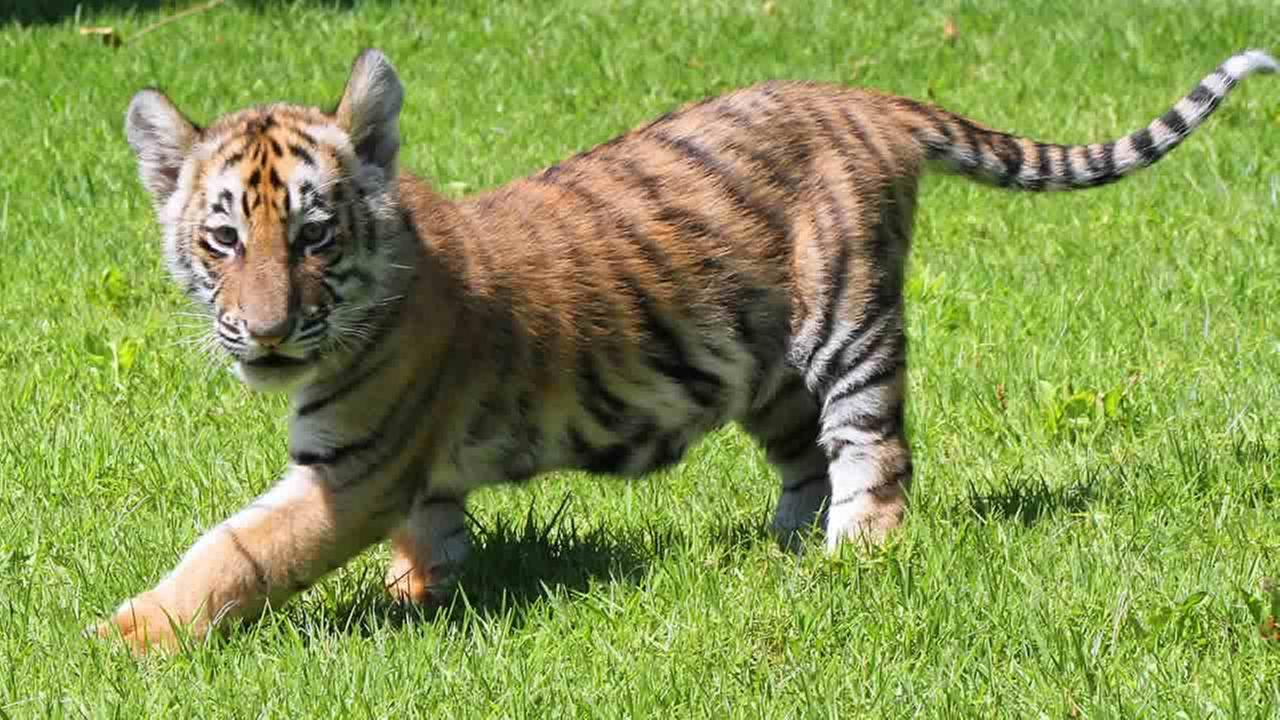 Bengal tiger cubs make their debut at Six Flags Discovery Kingdom in Vallejo.Courtesy Six Flags Discovery Kingdom