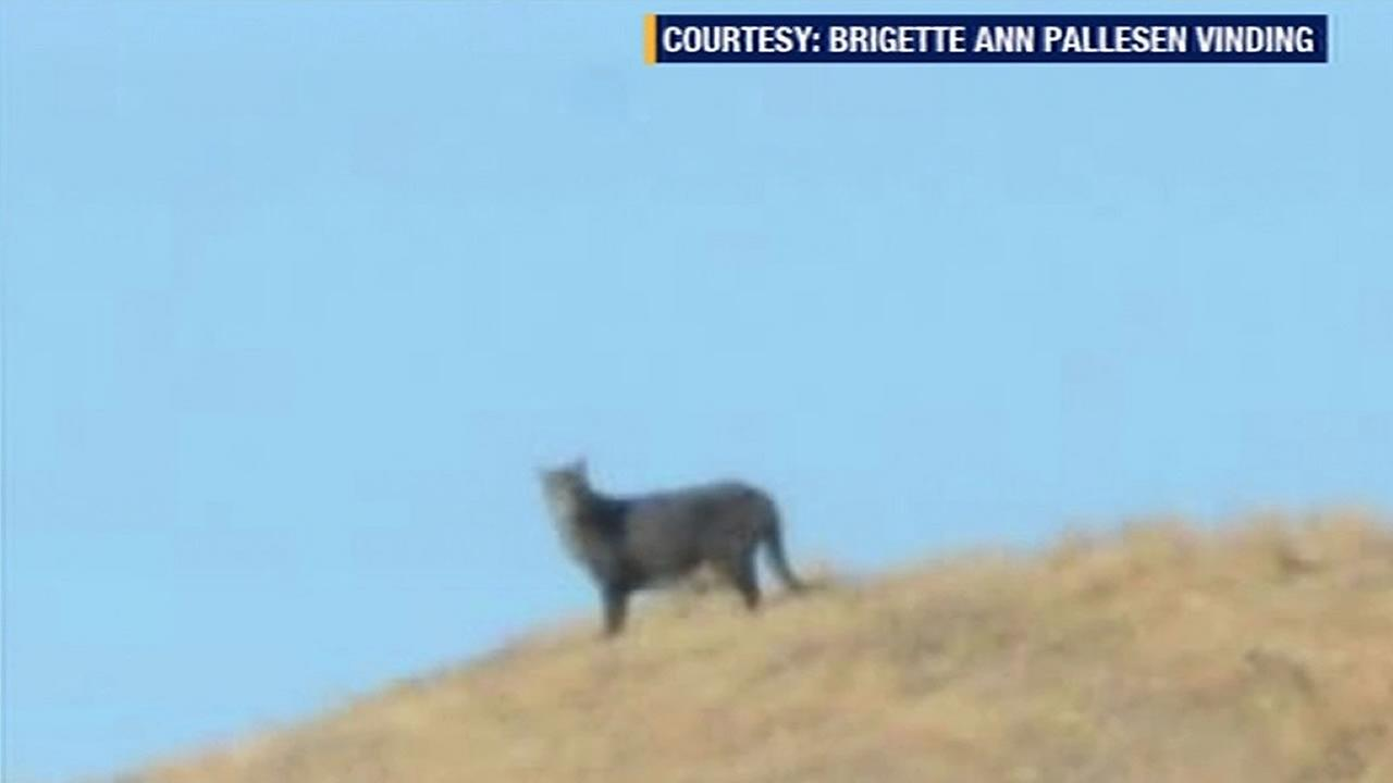 mountain lion in Brentwood