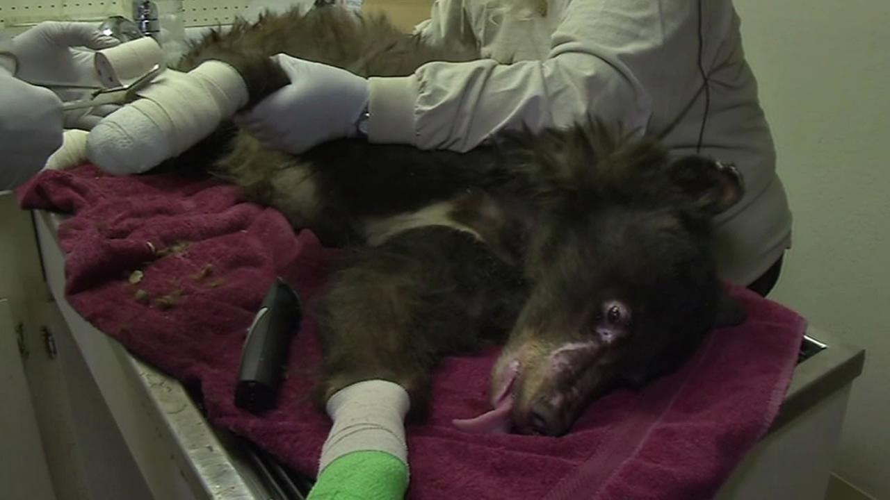 Cinder, a bear cub badly burned in a Washington state wildfire, recovers at a Lake Tahoe wildlife center.