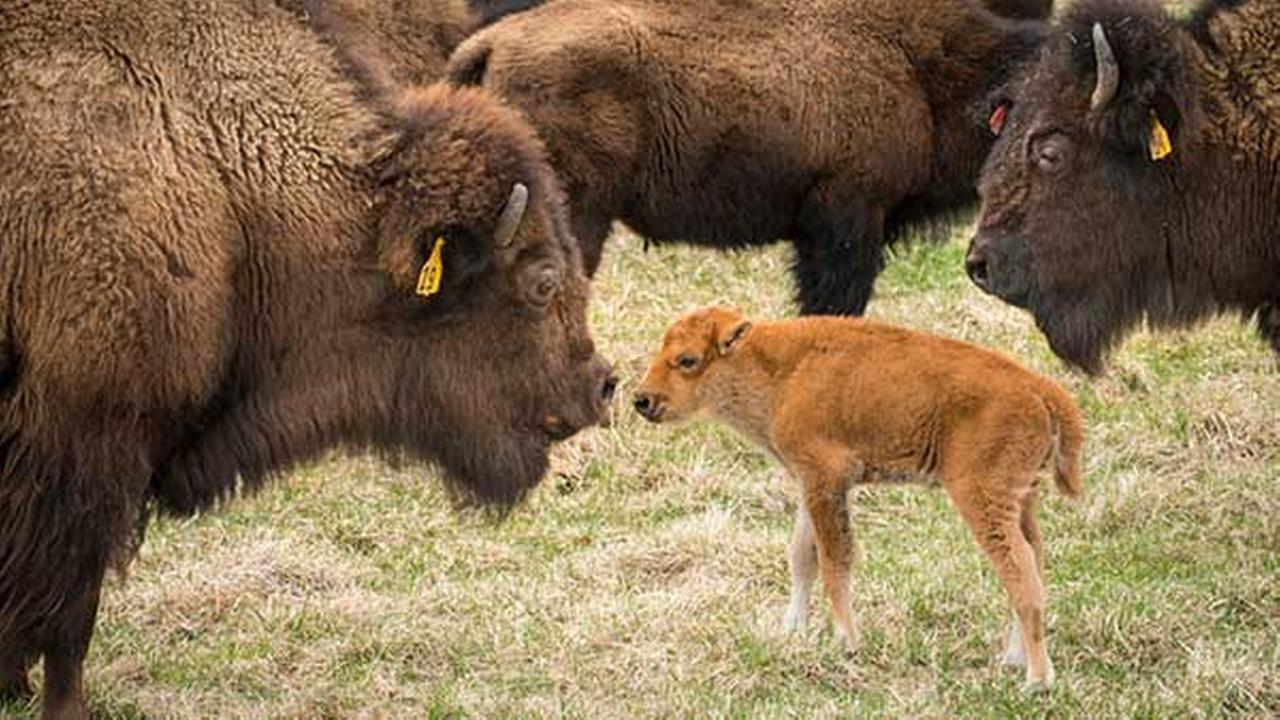A new baby bison makes it debut at Fermilab in Batavia, Ill.