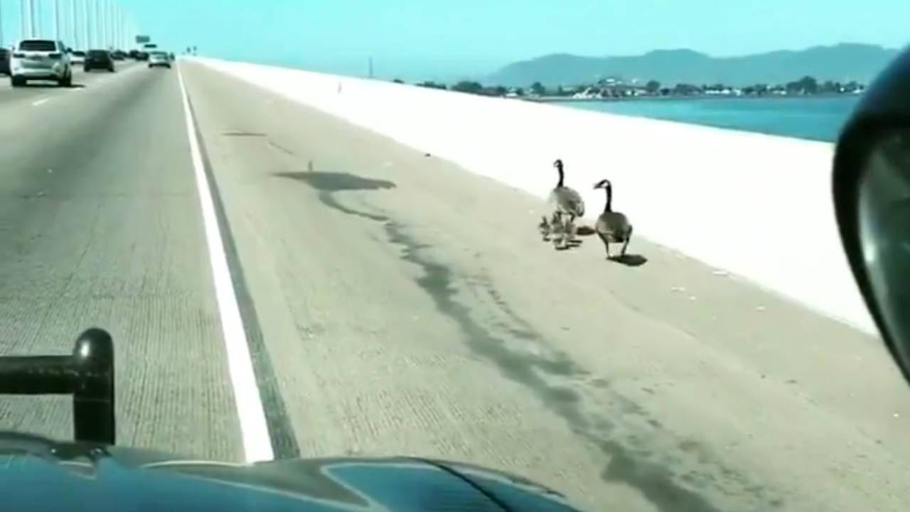Geese are seen being escorted off the Bay Bridge in Oakland, Calif. on Saturday, April 21, 2018.