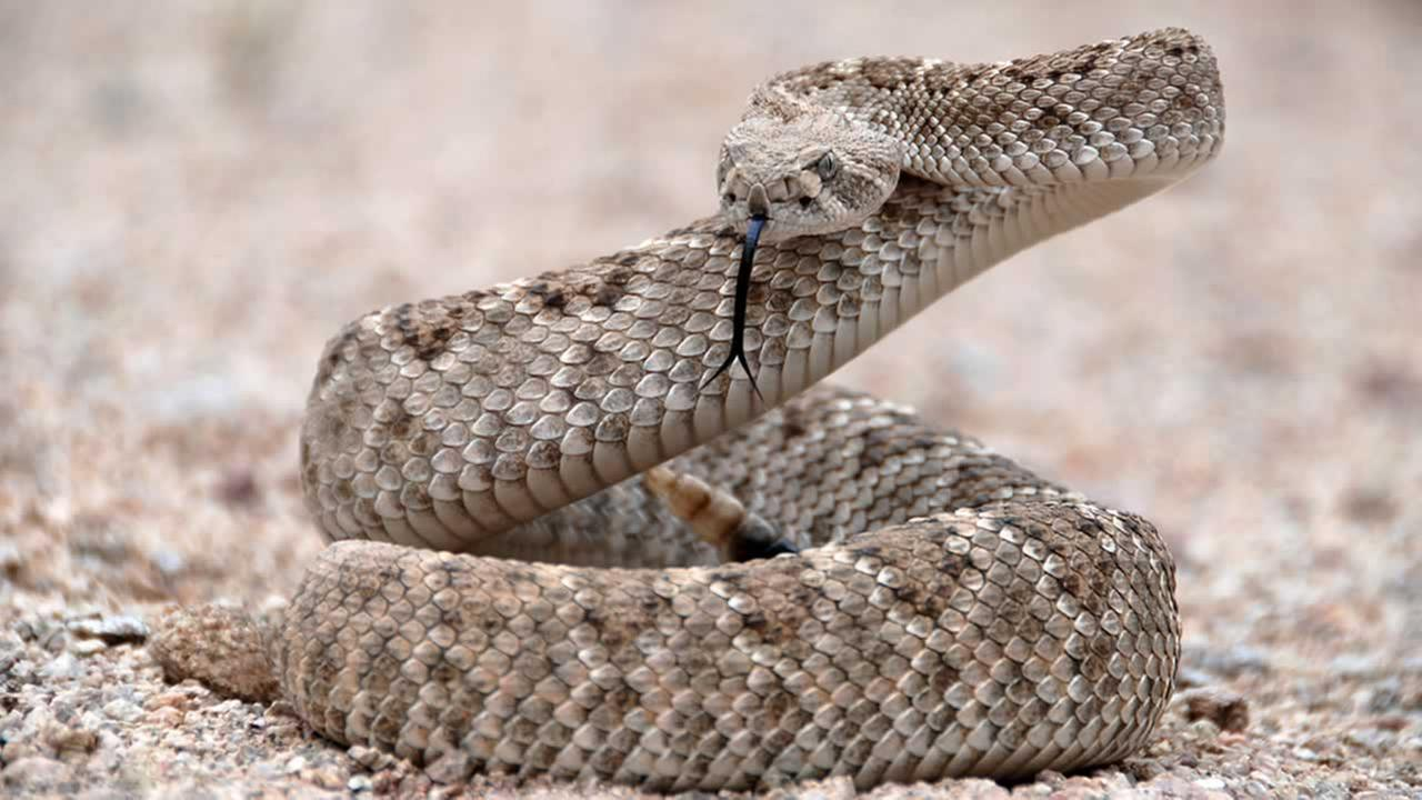 A rattlesnake is pictured in this undated file photo.