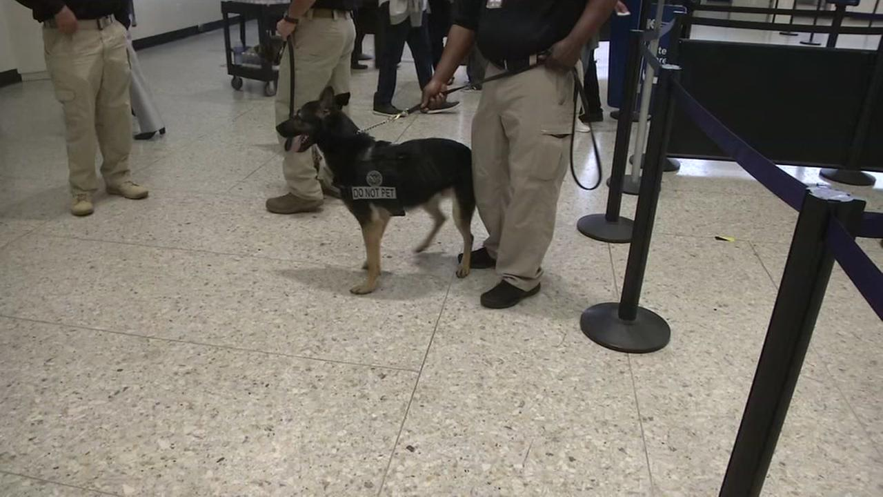 A dog with the Transportation Security Administration works at the airport in Oakland, Calif., on May 18, 2018.